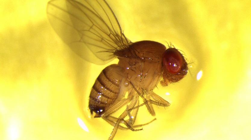 Pletvingefrugtfluen
