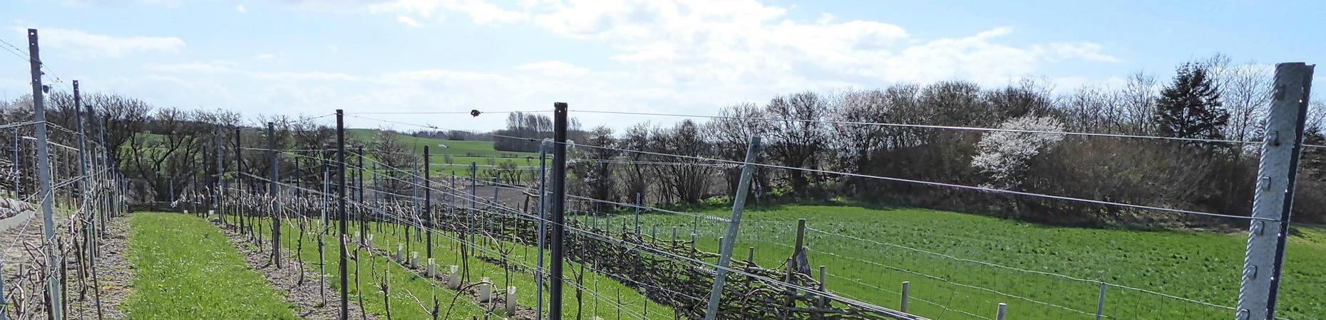 Forår i vinmarken