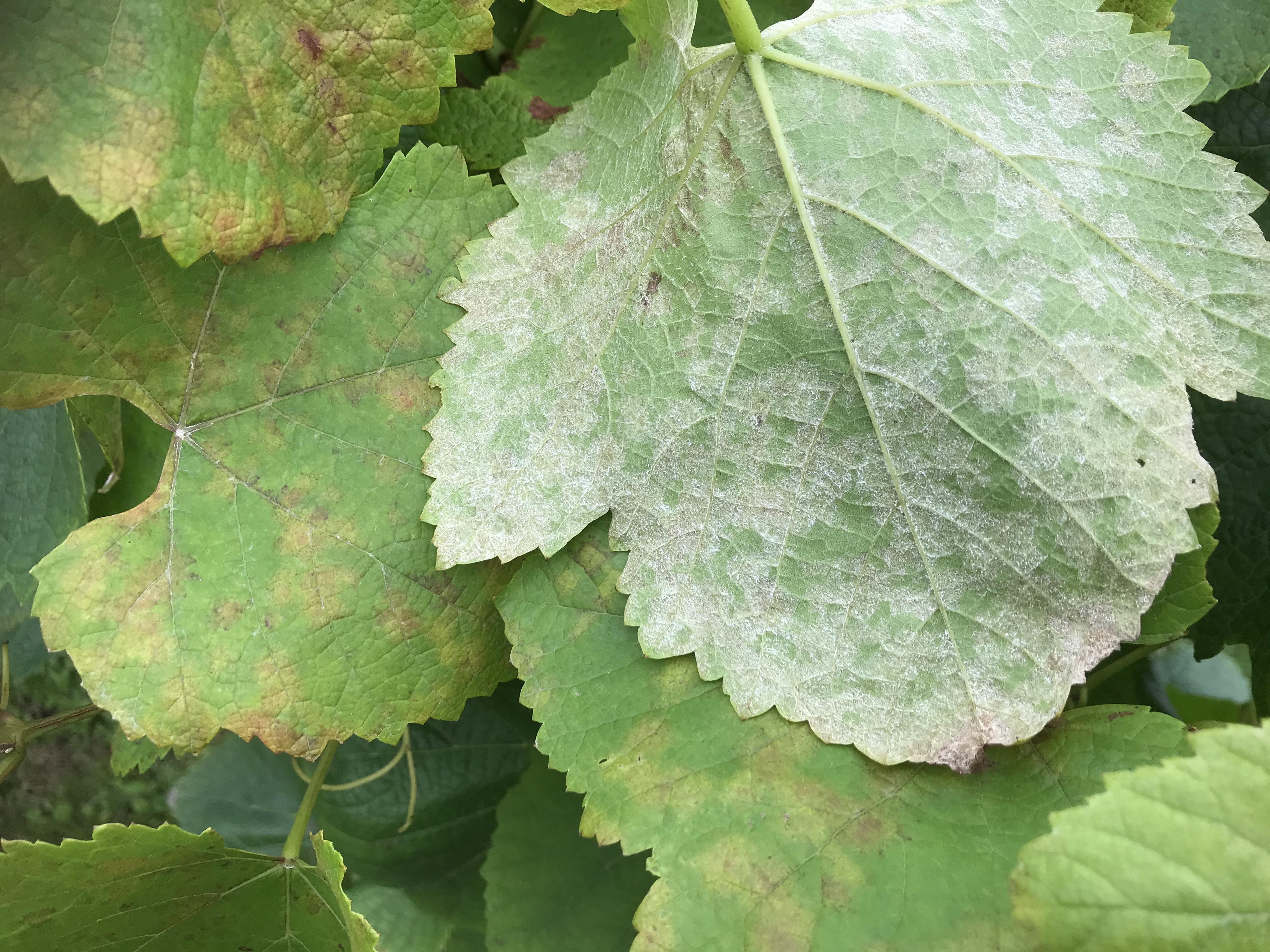 Mener det er vinskimmel, når belægning afgrænses af bladnerver!